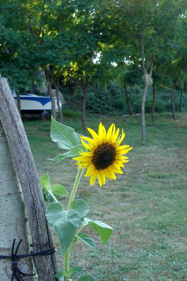 ninska-laguna-sun-flower